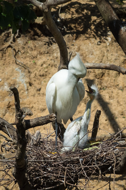 Snowy Egret Adult and Baby, Smith Oaks Sanctuary