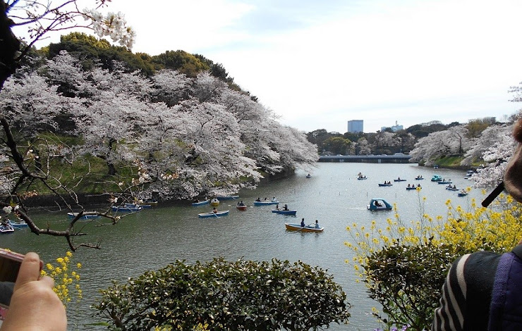 千鳥が淵の桜とボート2