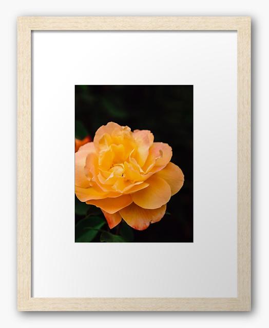 Blooming Strike It Rich Yellow Rose