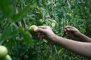 Tomat di Alahan Panjang Sumatera Barat