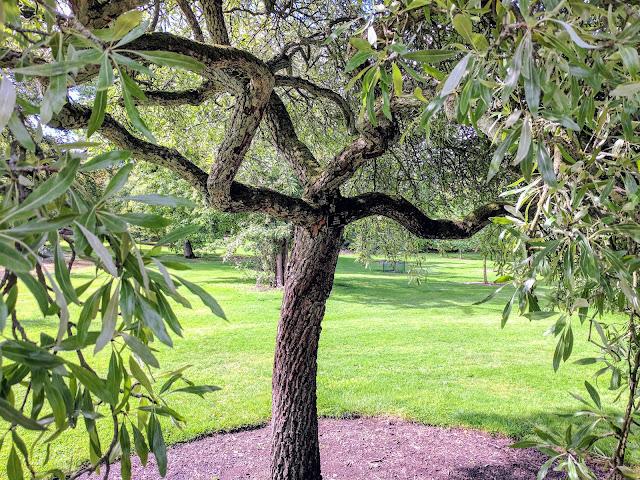 Gnarled trees on a free visit to Royal Botanic Garden Edinburgh