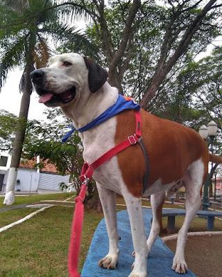Panetone usando a guia para cães Easy Walk