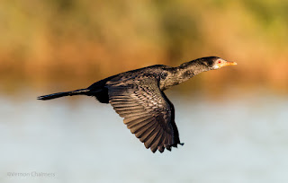 Reed Cormorant in Flight - Capturing / Tracking Variables for Improved Birds in Flight Photography