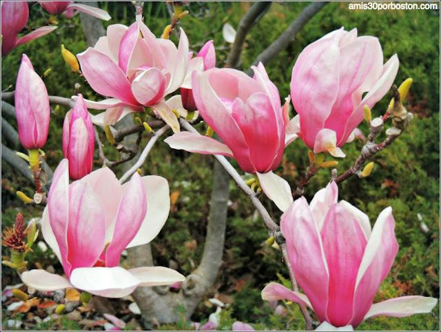 Magnolias Invierno Universidad de Stanford