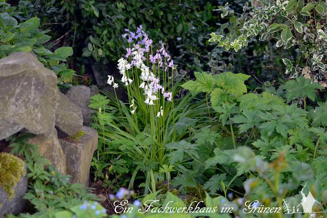 Hasenglöckchen im Garten