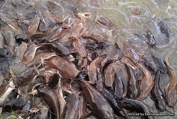 Ikan+Keli+Menjijikkan.jpg