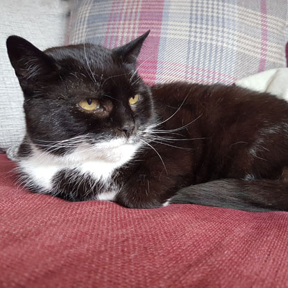 Valentine the black-and-white cat is an older cat success story for Mature Moggies Week