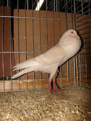 Lille Pouter-Boulant Lillois-pouter pigeons