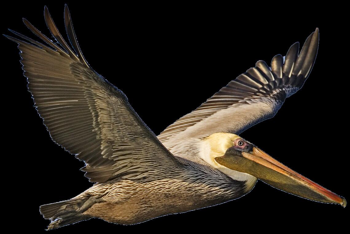 Colecci n de gifs pel canos - Fotos de pelicanos ...
