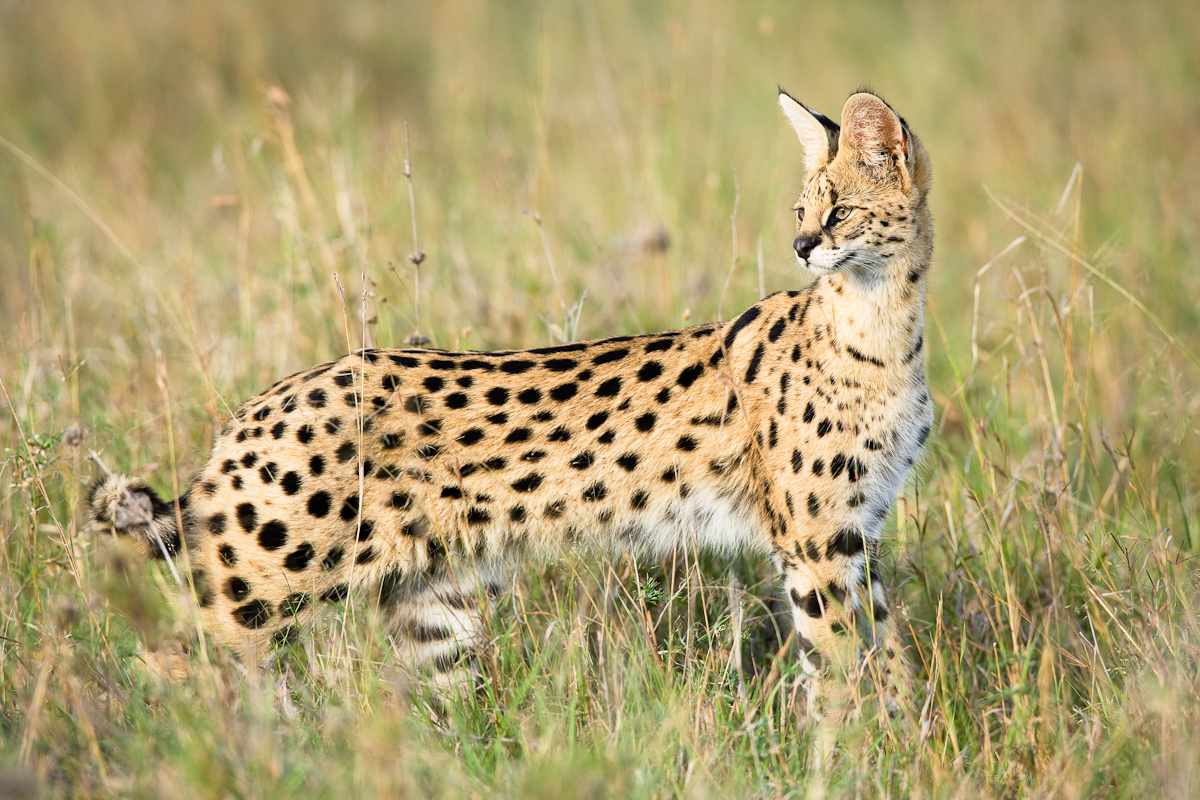 Amazing African Animals: The African Small Cats; Beautiful