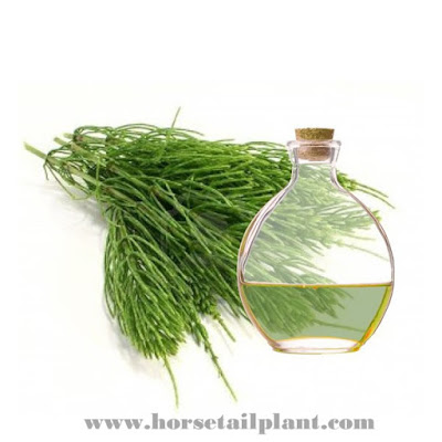 Medical uses of Horsetail (Equisetum)
