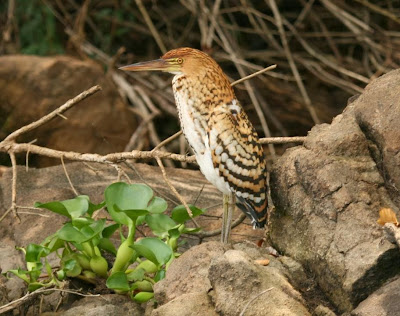 Rufescent Tiger-heron
