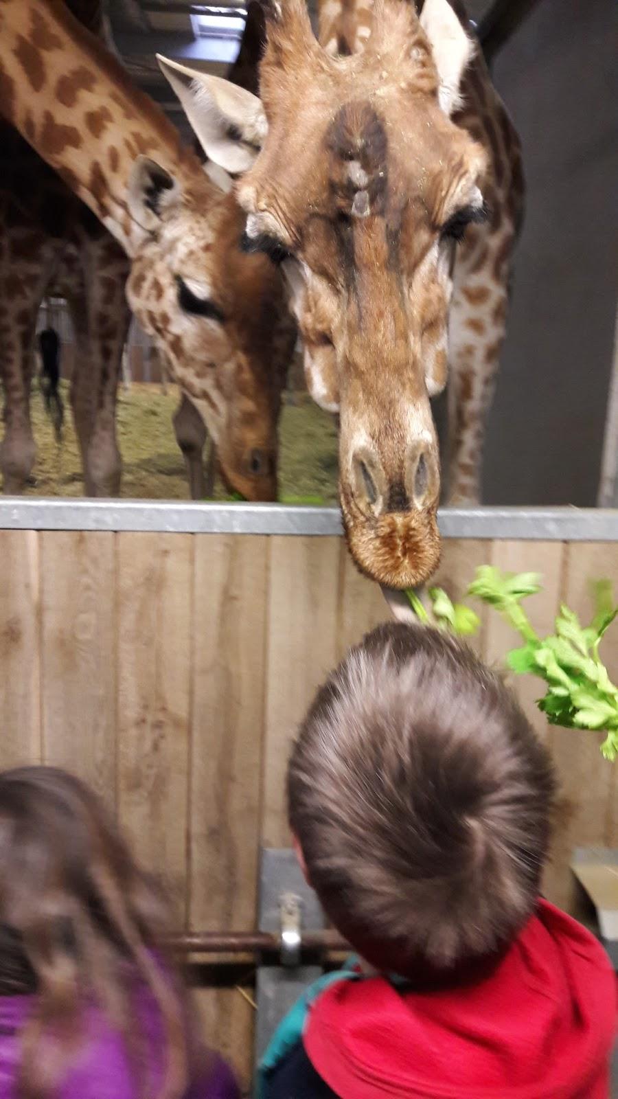 ces doux moments prendre le petit d jeuner avec les girafes au parc zoologique de paris. Black Bedroom Furniture Sets. Home Design Ideas