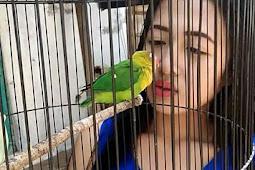 Terapi MKMK dan Sayur Rica-Rica Agar Lovebird Rajin Ngekek Panjang