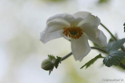 grande anémone blanche honorine
