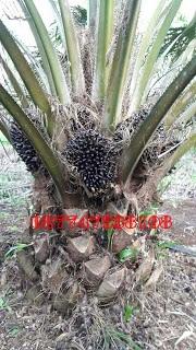 pupuk buah sawit, dosis pemupukan kelapa sawit, pupuk yang bagus untuk sawit, jenis pupuk sawit, pupuk sawit barutanam, manfaat pupuk nasa untuk sawit