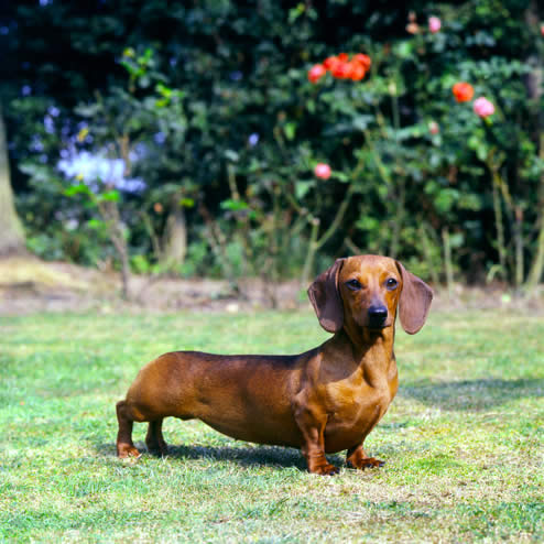 Dachshund Smooth Haired Dog Breed Pictures Dog Breed