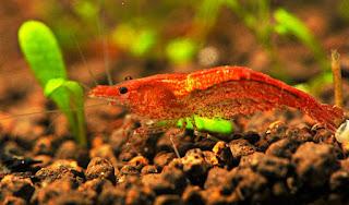 Algae Eater untuk Aquascape Udang Red Cherry