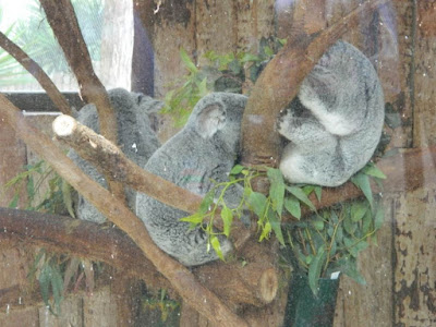 koalas, wordless wednesday
