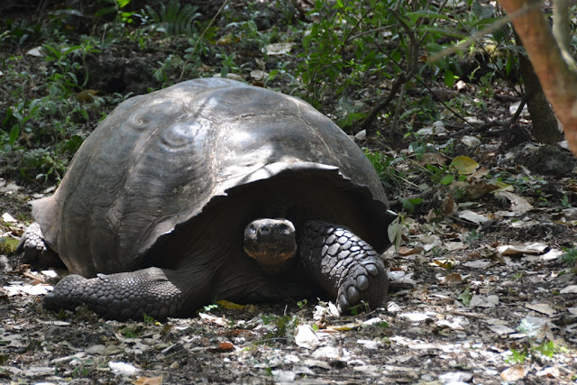 Tortoises Galapagos