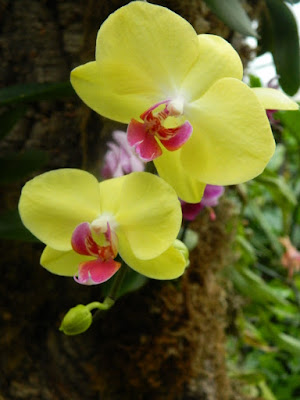 Allan Gardens Conservatory yellow and purple Phalaenopsis orchids by garden muses-not another Toronto gardening blog