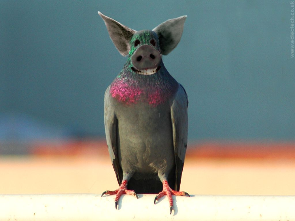 Funky pigeon desktop wallpaper |Funny Animal