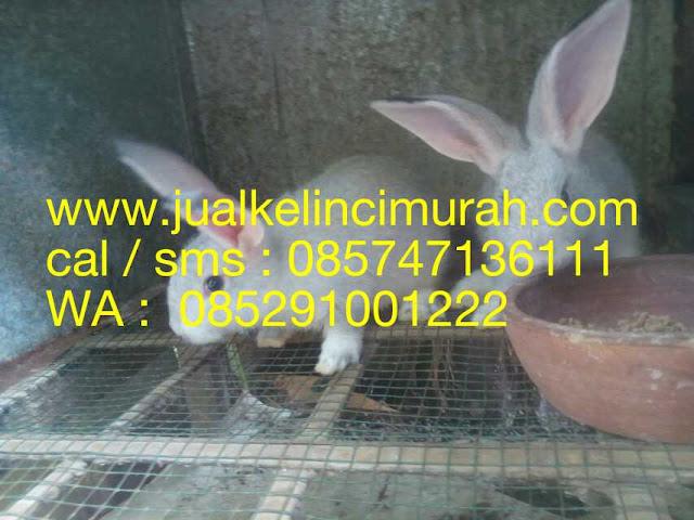 Kelinci Hias Jawa
