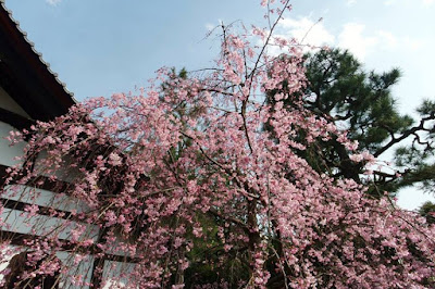 Pretty sakura tree in Gion Kyoto Japan