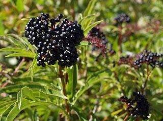 Frutos negros o violáceos del sauquillo o yezgo (Sambucus ebulus)