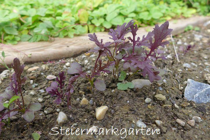 Asia-Salat-Steiermarkgarten