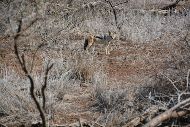 Singita Sweni Africa hotel resort Kruger National Park coyote
