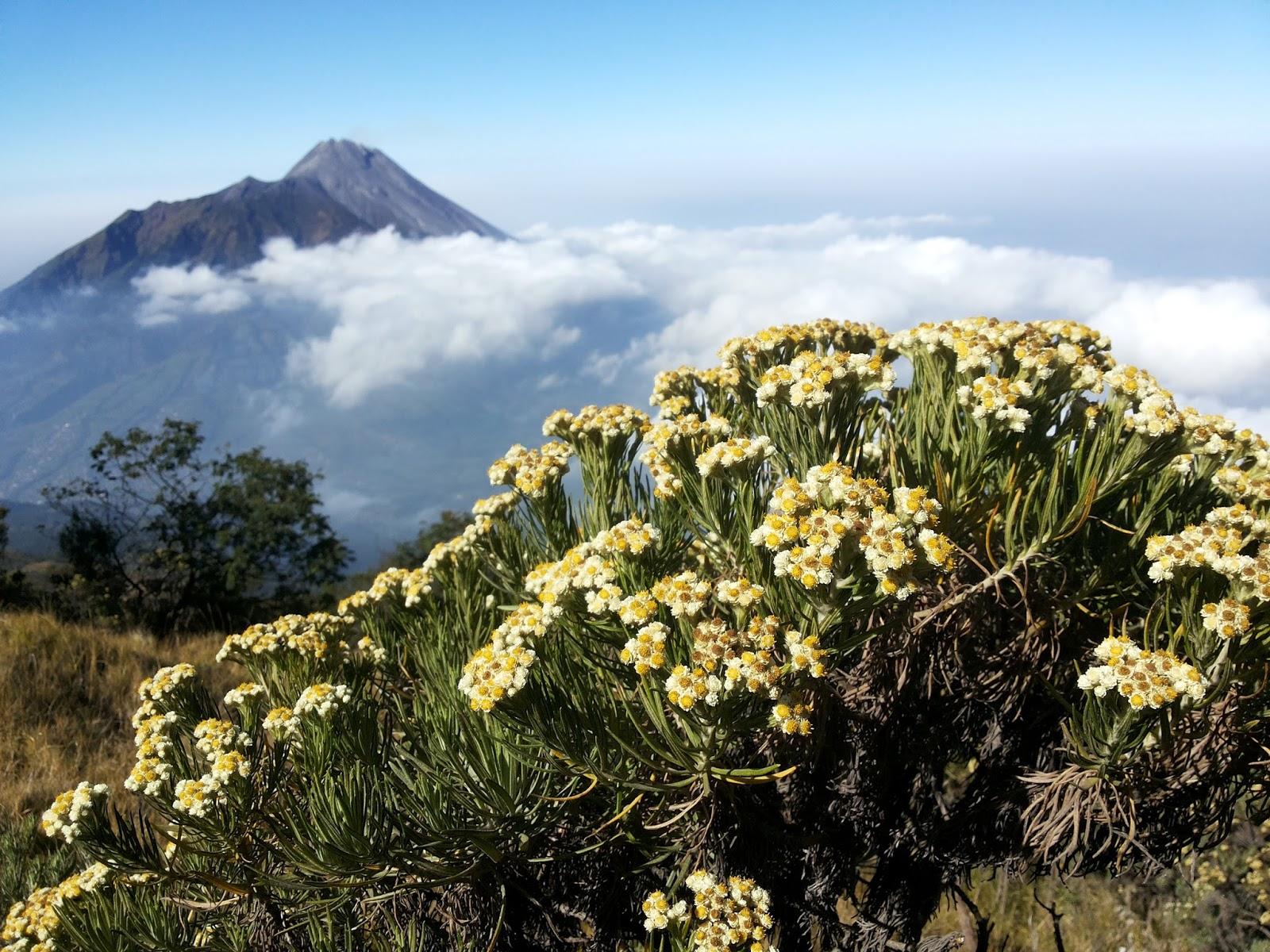 Edelweis Sang Bunga Abadi Dari Kayangan Merekam Jejak