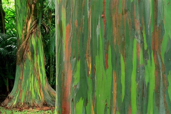 شجرة ذو الوان طبيعية مبهرة rainbow-eucalyptus-3