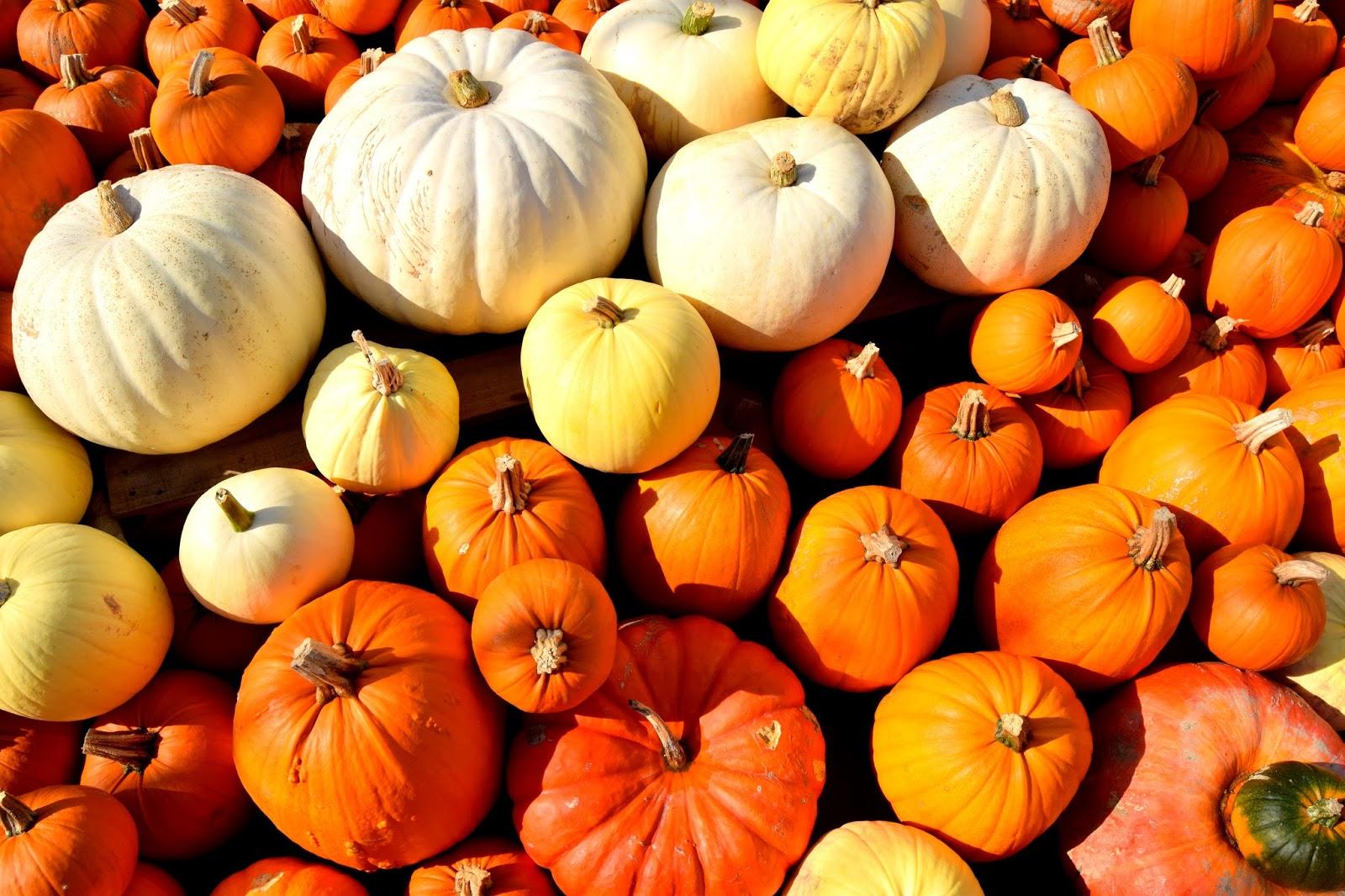 Pumpkin Patch, Sharnfold Farm