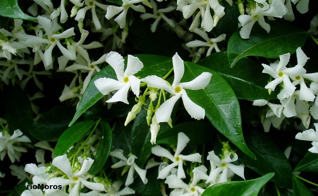 JAZMÍN DE LECHE Trachelospermum jasminoides