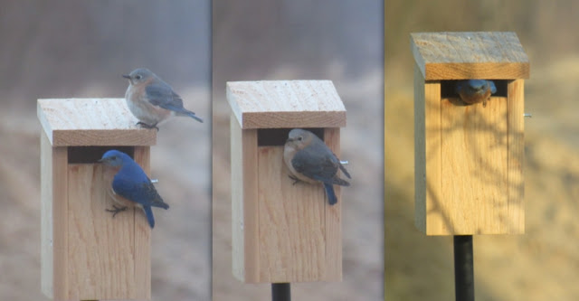 https://lansingwbu.blogspot.com/2016/05/photo-share-eastern-bluebirds-move-in.html