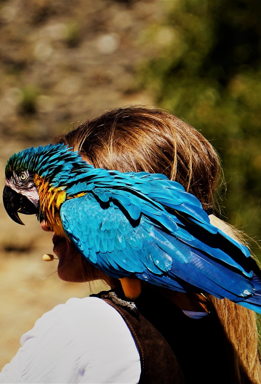 A macaw on the shoulder of it's trainer.