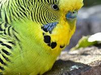 Mengenal Burung Parkit