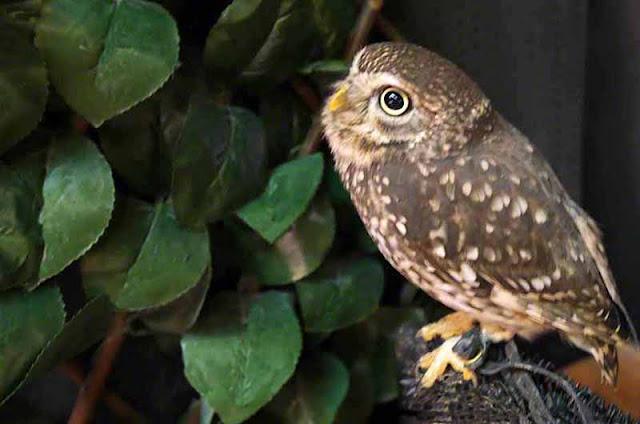 birds, captive, owls, Okinawa, tethered