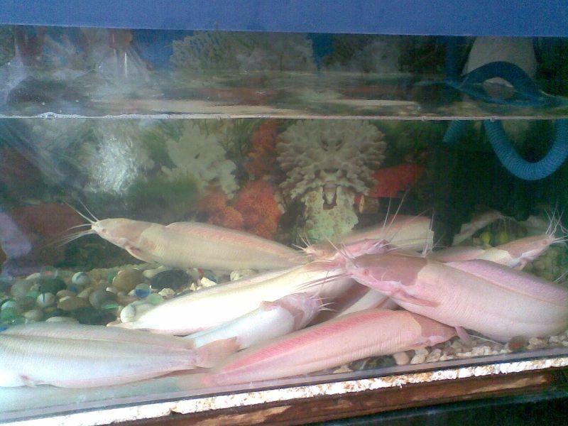 Tempat Pemijahan Budidaya Ikan Lele Putih (Lele Bule) Albino