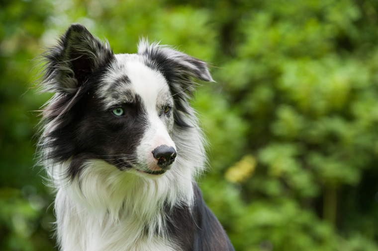 A cute border collie outside