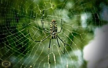 هل تعلم أن العنكبوت لا يقع في شباكه الخاصة  ولمذا