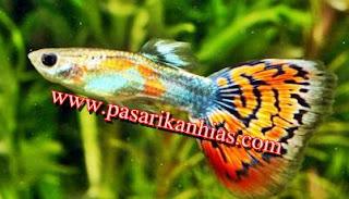 Harga Terbaru Ikan Guppy Di Pasaran