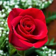Unduh 47 Gambar Jengger Bunga Mawar Paling Cantik HD