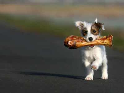 puppy with bone