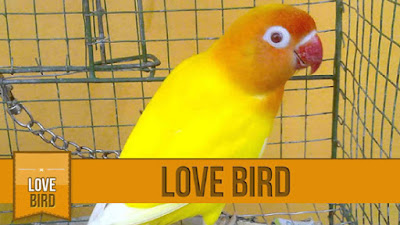 Harga LovebirdLutino Mata Merah Super Terbaru 2015