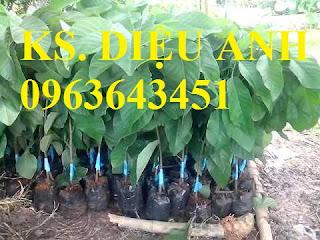 Cung cấp cây giống na Thái Lan, cây giống na hoàng hậu, na dai Thái Lan trồng kinh tế hiệu quả cao