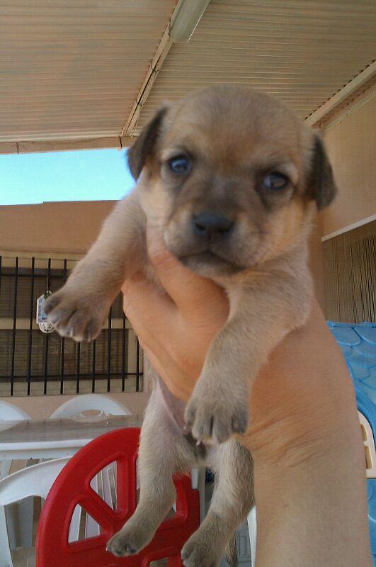 Cachorros En Adopción Perritos De Raza Pequeña En Murcia