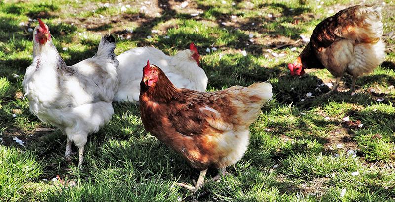 Prendre soin des pattes des poules