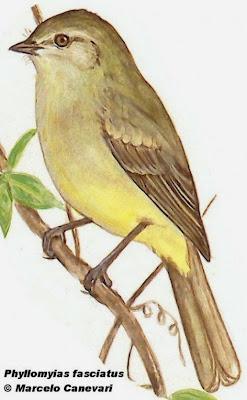 Mosqueta olivácea, Phyllomyias fasciatus